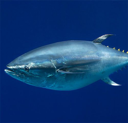 17 best images about salt water fishing on pinterest for Tuna fish size