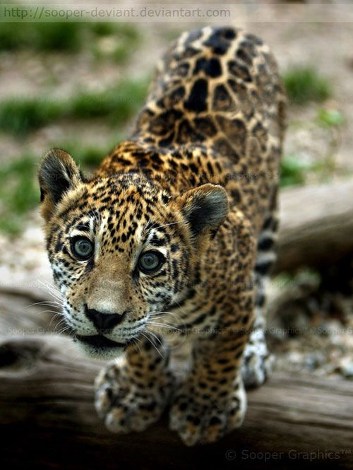 Cute And Furry Animals Photography. A jaguar cub with unusual markings over his eyes.