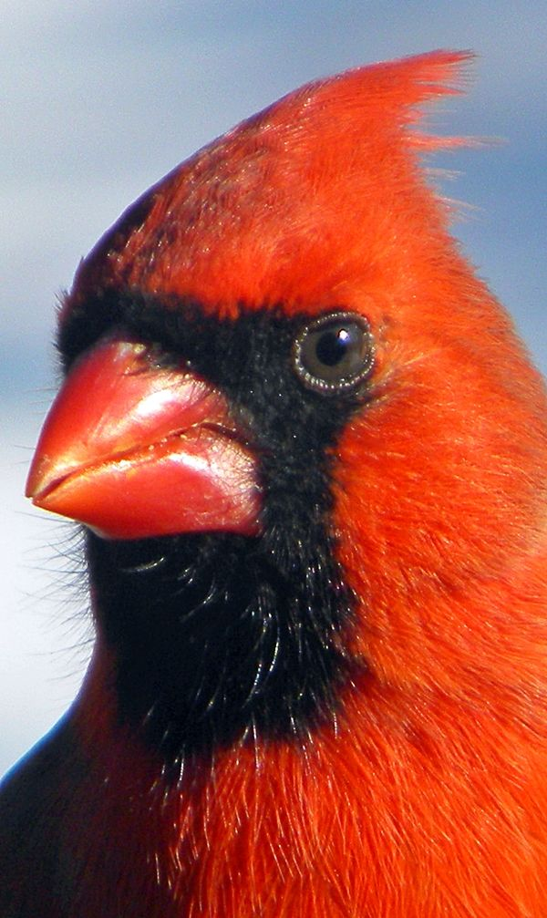 SAVE THE CARDINALS & all birds from harm! - Whether you feed birds, or not, remember how you feel when a bird bangs into your big windows. - An inexpensive way to prevent this to apply a decal that's visible only to birds.  l