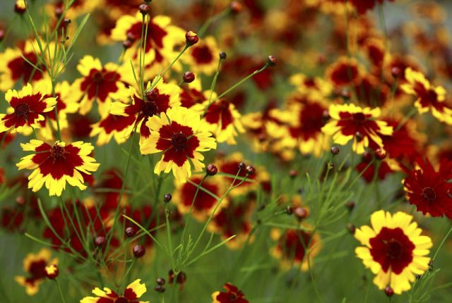 (Coreopsis verticillata 'Crème Brûlée) The butter-yellow flowers of this feathery, relatively statuesque option (at two feet) can persist into October. Zones 5-9; full sun; blooms mid-late summer   - HouseBeautiful.com