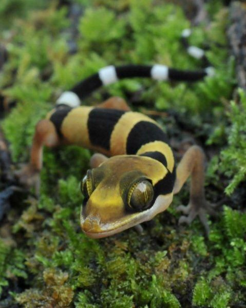 Malayan Forest Gecko - Cyrtodactylus pulchellus - By reptile street photographer, via Flickr