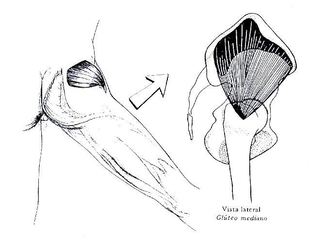 El Glúteo medio Inervación: Nervio glúteo superior (L4-L5-S1)