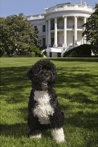 Bo, President Obama's family dog.  He's so cute, he looks more like a toy than a real dog. :)
