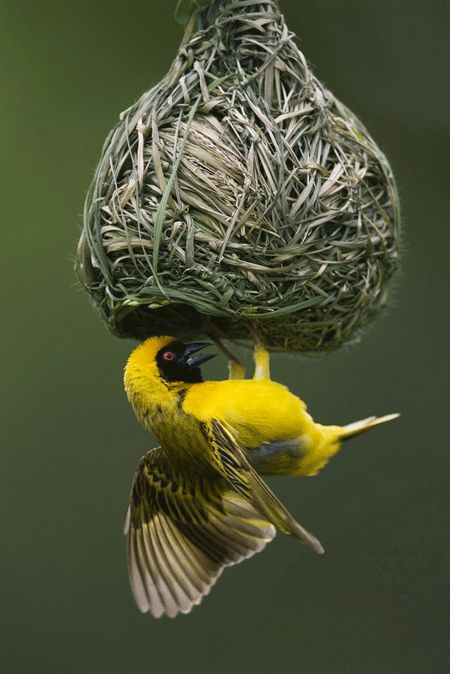 This little bird is weaving his/her own nest.