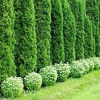 Emerald Green Arborvitae - 3 Gallon Container - Healthy Trees