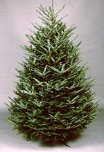 Fraser Fir: If you haven't had much luck or much experience with real trees, I recommend a Fraser Fir. The silvery-green needles are soft to the touch and if the tree is kept well hydrated, you won't run the risk of heavy shedding, which other types of trees will do after just a few days (if not the first).