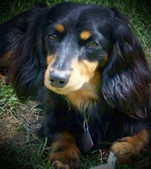 7 Best Dachshund Hair Cuts Images On Pinterest Dachshund Dog