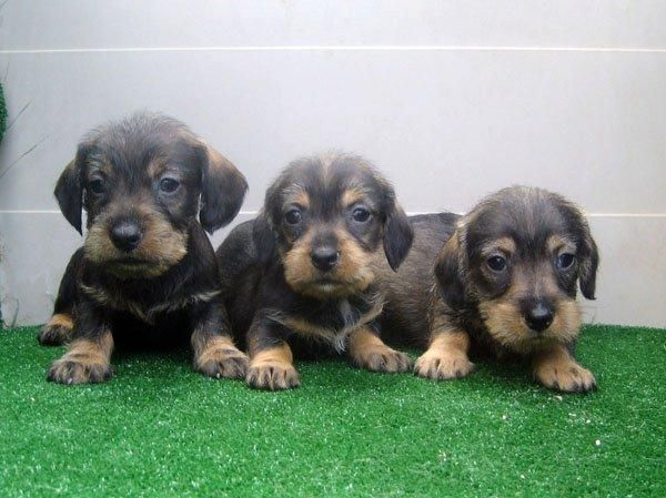 Teckels fantasticos cachorros de pelo duro color jabali