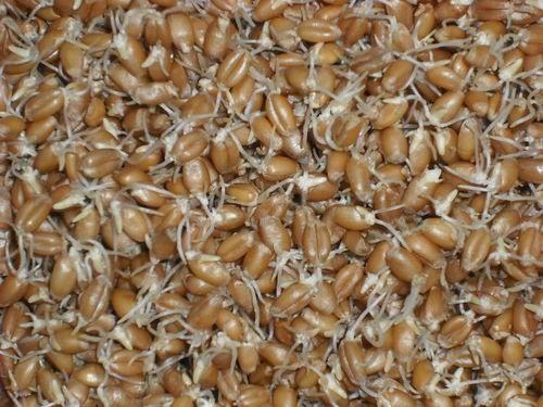 Fertig angekeimter Weizen nach 36 Stunden
