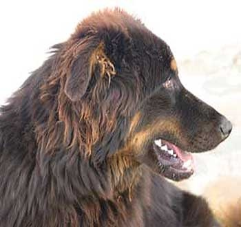 MONGOLIAN FOUR-EYED DOG/MONGOLIAN MASTIFF
