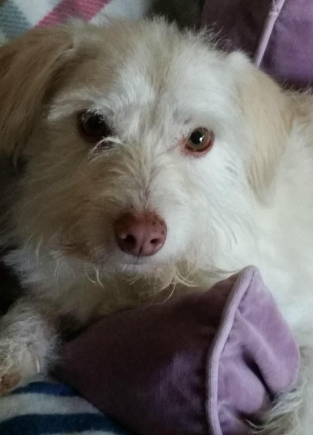 Adopt James Taylor On Poodle Mix Dogs Terrier Poodle Mix Dogs