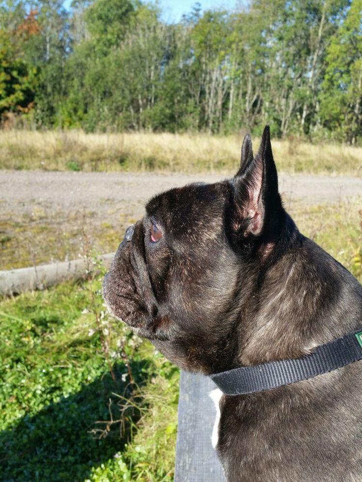 Oscar the bulldog 💕