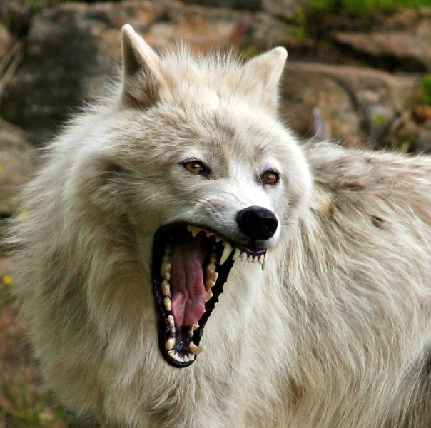 White Wolf: Interesting Facts About Wolves (Please Read)