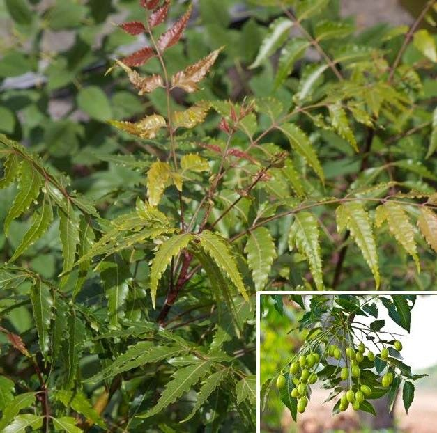 Neem Tree (Azadirachta indica) the oil from the neem seed is used as an insecticide. Treating insects like spider mite and white fly. It's also used medically to treat many aliments.
