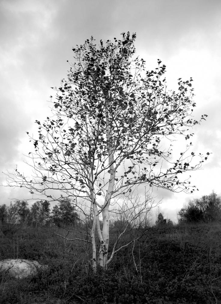 Fine Art Photography - Birch Tree Black White - Corporate Office Home Decor - 8 x 12 photograph. $25.00, via Etsy.