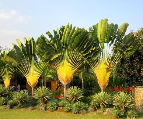 Ravenala Madagascariensis Baum Des Reisenden