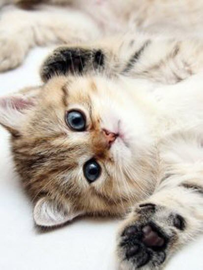 """I surrender to belly rubs!"" -and a gorgeous little kitty like you will get plenty I'm sure!"