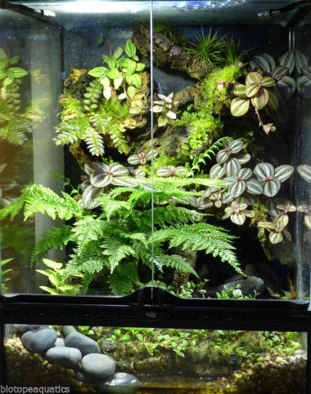 Bunch Umbrella Fern live tropical plant for vivarium terrarium frog selaginella
