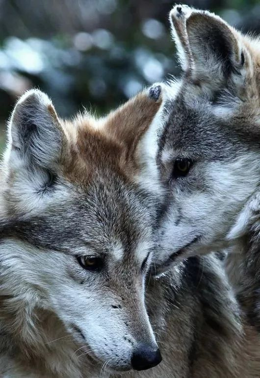 Two beautiful Wolves
