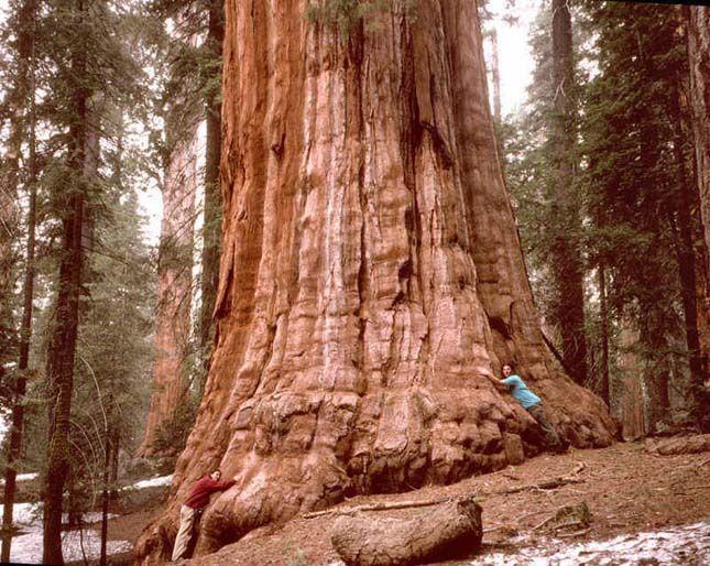 Rockefeller  Magassága: 112,6 méter Helyszín: Amerikai Egyesült Államok, Kalifornia, Humboldt Fajtája: örökzöld mamutfenyő (Sequoia sempervirens)