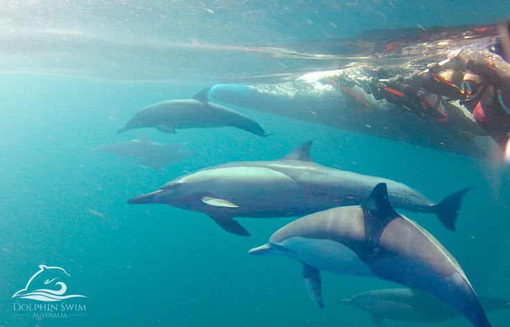 Swim with wild dolphins in Port Stephens. 1(300) 721 358