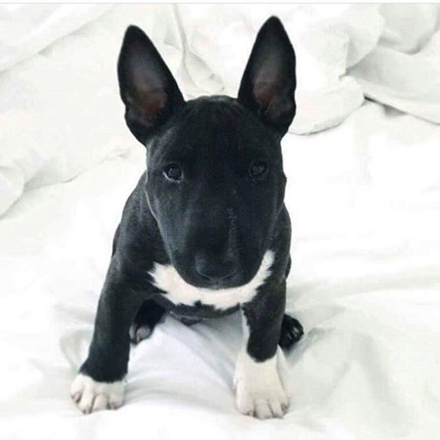 Best 25+ Black bull terrier ideas on Pinterest   White ...
