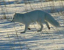 The total population of the Arctic Fox estimate for 1997 is around 60 adults in Sweden, 11 adults in Finland and 50 in Norway.