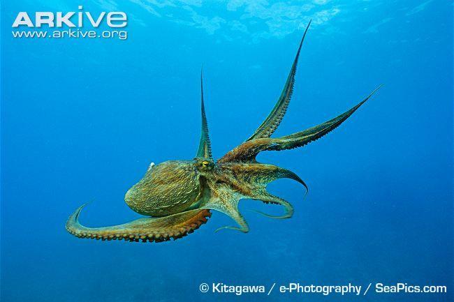 Common octopus swimming