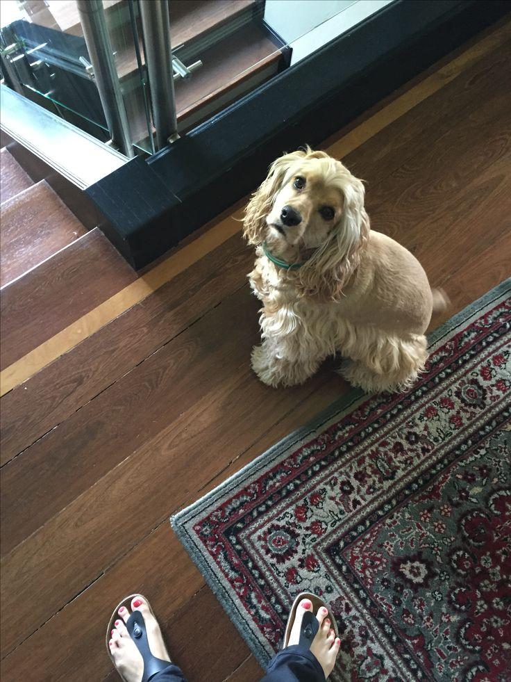 Mona cocker spaniel ! Dog life