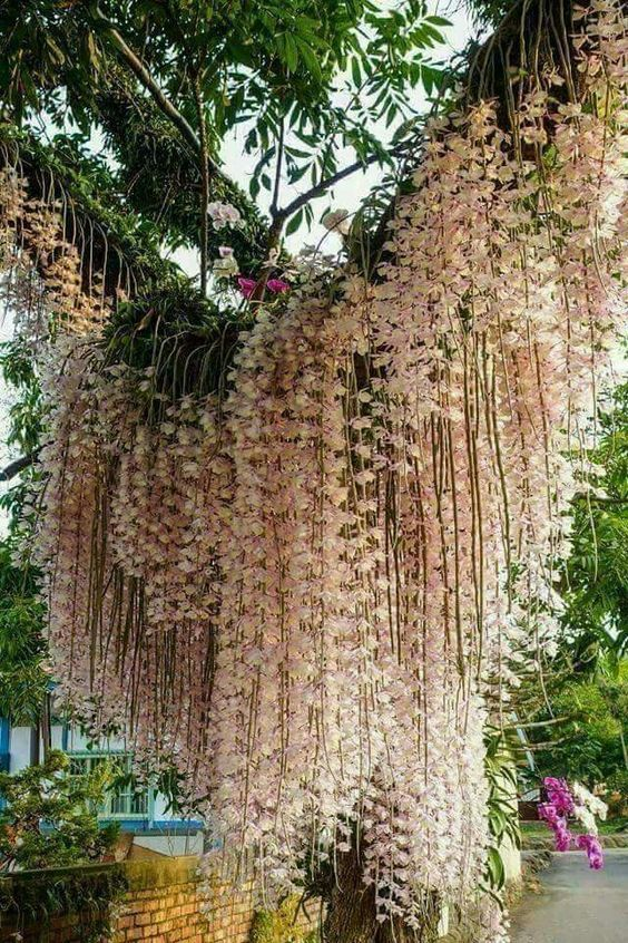Orchid curtain  https://www.houseplant411.com/houseplant/orchids-how-to-grow-care