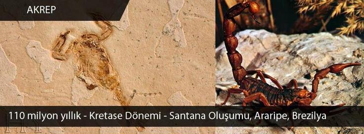 Akrep Fosili, 110 milyon yıllık, Kretase dönemi, Santana Oluşumu, Araripe, Brezilya