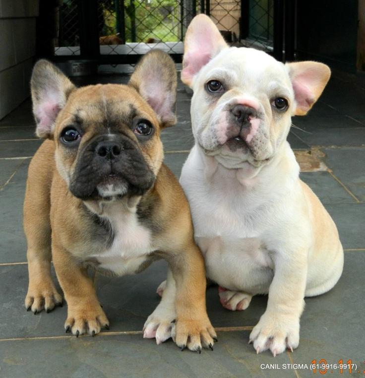 Bulldog Frances / 2 Filhotes Machos / Canil De Brasilia