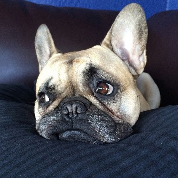 1000+ images about Frenchies on Pinterest | French ... Sad Bulldog Face