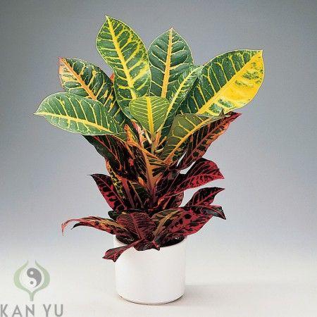 12 best images about plants zimmerpflanzen feng shui energie on pinterest feng shui blog - Rankende zimmerpflanzen ...
