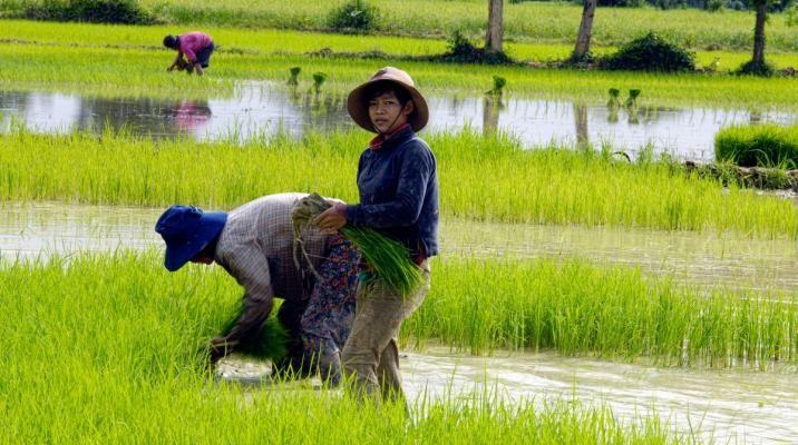 Burmesiske kvinder i marken