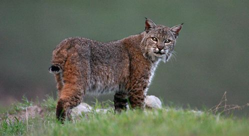 The Most Common Wildcat In North America The Bobcat Is