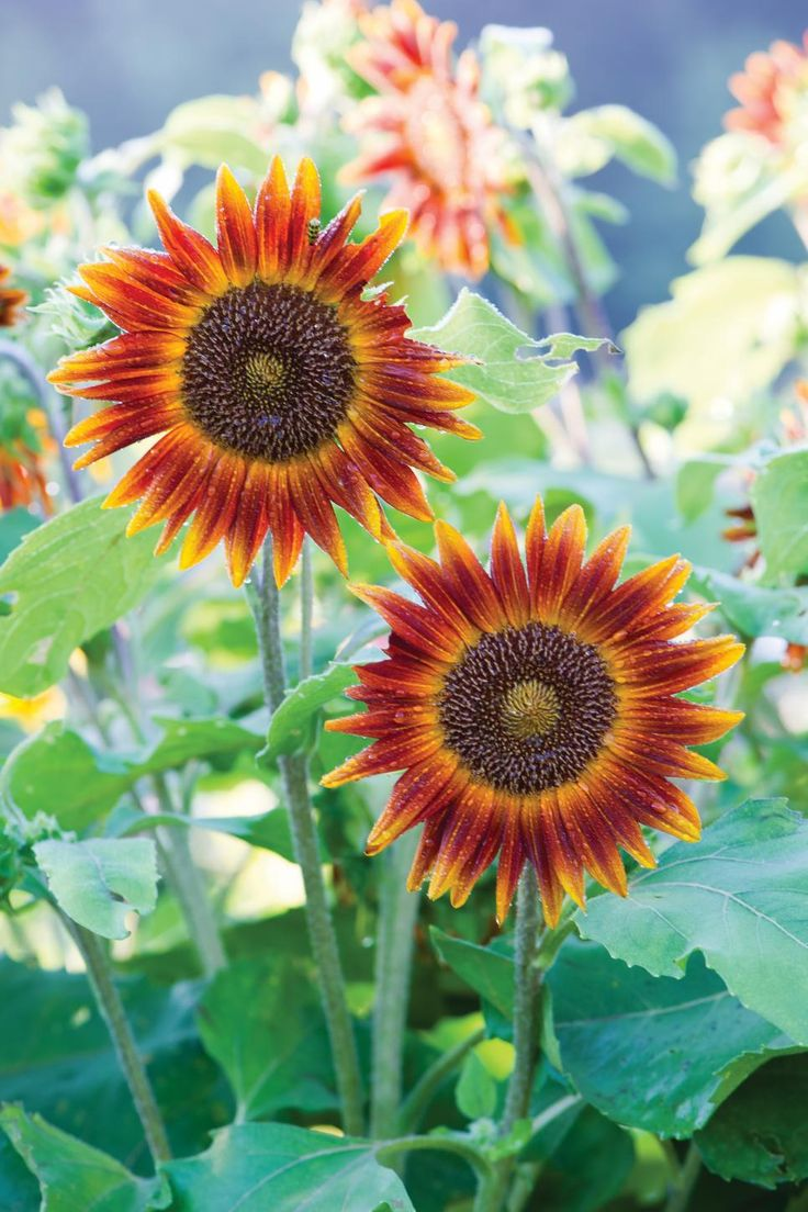 Grow sunflowers in a pot or grow a sunflower forest with this collection of dwarf and mega varieties.