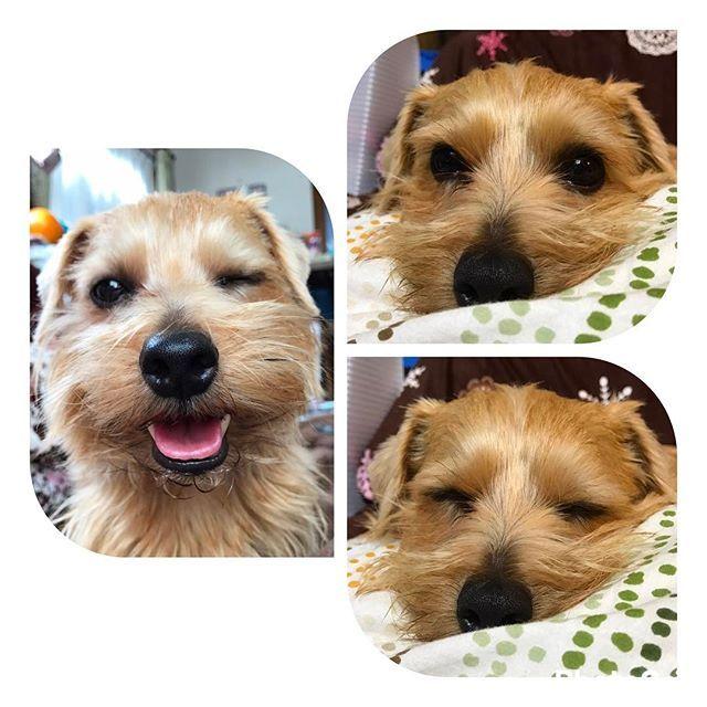 【実家の癒し🐶💓】 実家帰ってきた時の癒しは犬たちと戯れること🐶💞 本当は3匹いるけどpicはそのうちの1匹🐶 ノーフォークテリアのノン😘 人懐っこくて嫉妬深くて口が臭いのが特徴☝🏼w おもちゃで遊ぶのも大好きで ひとりでおもちゃぶん投げて取ってぶん投げて… っていうのをひたすらやってる🐶w やっぱ愛犬が1番可愛いね〜😚❣️ #実家 #愛犬 #犬 #小型犬 #ノーフォークテリア #Norfolk #Terrier #NorfolkTerrier #🐶 #癒し #かわいい #口臭い #Wink #ウィンク #😉 #奇跡のショット #📸 あとの2匹は#ジャックラッセルテリア と #ヨープー (ヨークシャとトイプーのmix)🐶💓 #自慢の愛犬