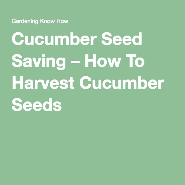 Cucumber Seed Saving – How To Harvest Cucumber Seeds