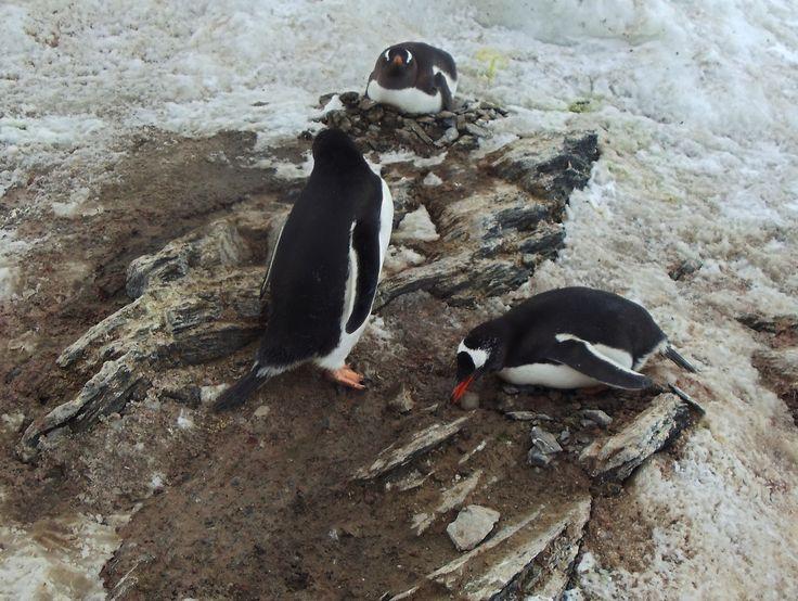 Pinguinos empollando, Base Bernardo O'Higgins