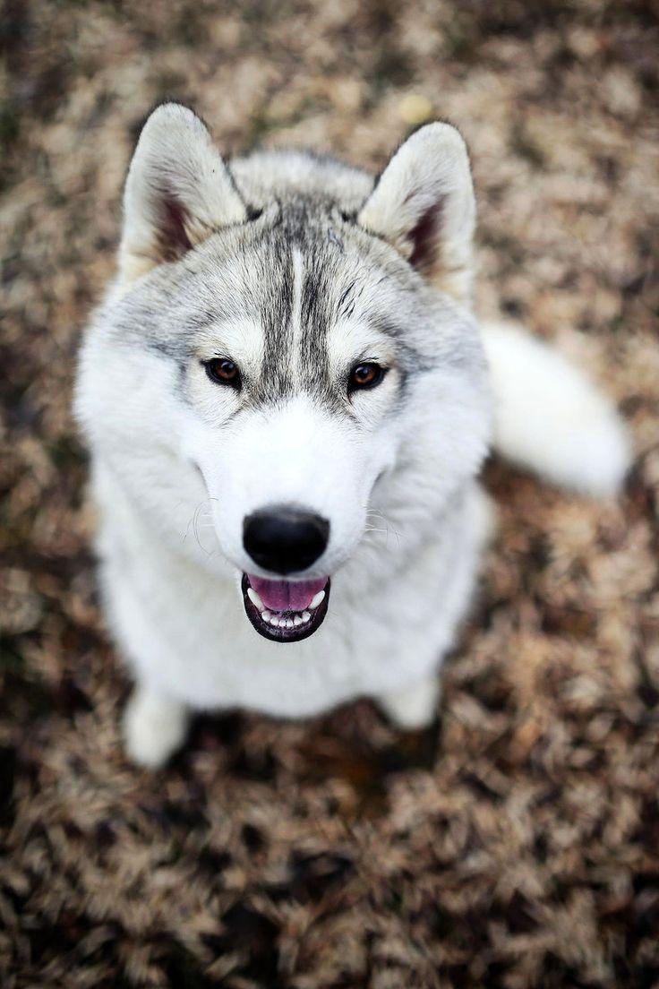 Très beau Husky !