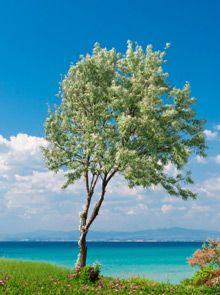 Greek Olive Tree on Fast Growing Trees Nursery