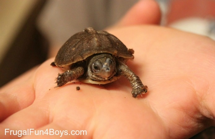 raising a hatchling box turtle! our own clutch of 7  finally hatched (l found a wild box turtle laying eggs in my garden in may), they are soooo cute!!! they all look just like this! :}