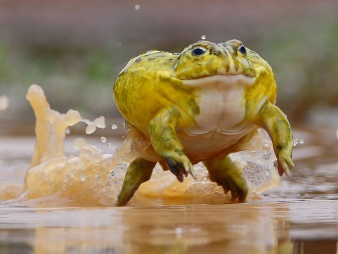 Opinion you name of toad if you lick it youcan die are
