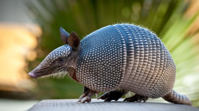 Texas Man Hurt When Bullet Ricochets Off Armadillo He Tried To Shoot