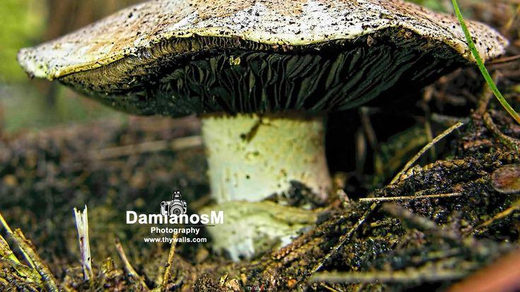 Mushroom Agaricus Campestris
