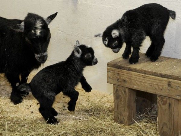 Videos and photos of the cutest baby pygmy goats and baby goats  http://www.homesteadingfreedom.com/10-cute-baby-pygmy-goats-and-baby-goats-on-the-internet/