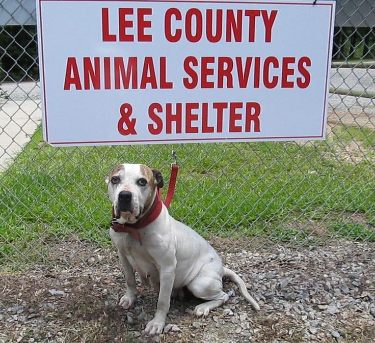 ABANDONED 2 YR. OLD GIRL HAS EXCEEDED TIME ALLOWED AT SHELTER - CAN BE KILLED AT ANY MOMENT! Iee County Animal Services Adoption Search Results