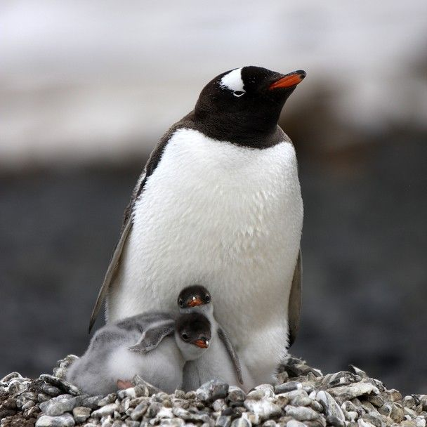 20 best images about Penguins on Pinterest | Gilbert o ...