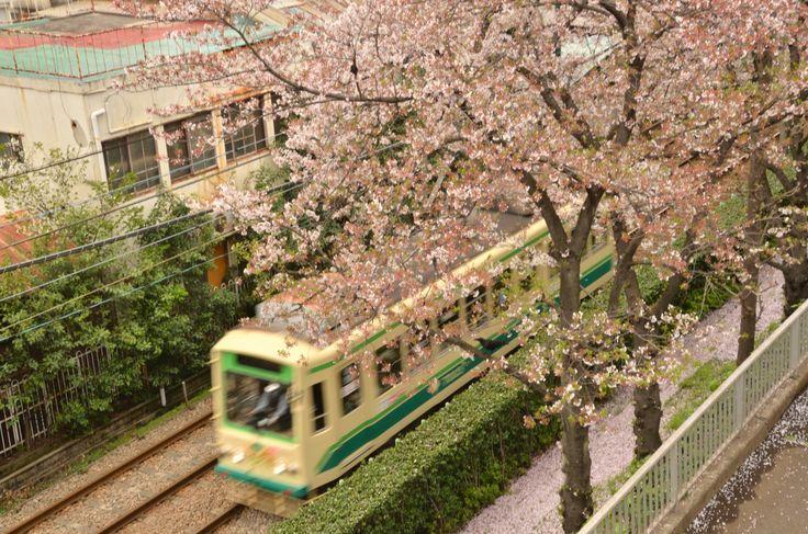 桜並木と都電